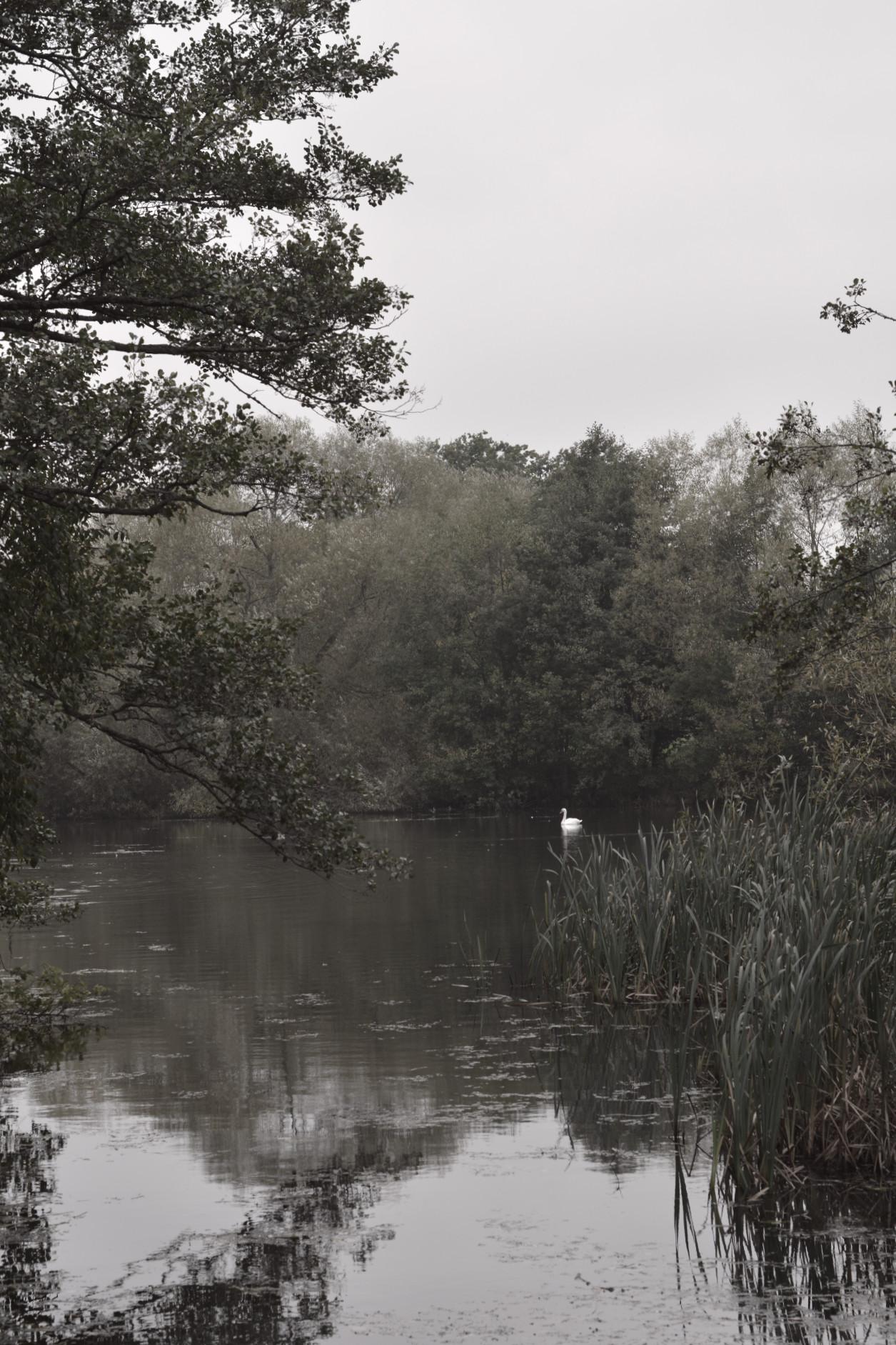 Svartvit bild på svan som simmar i damm i Linköping.