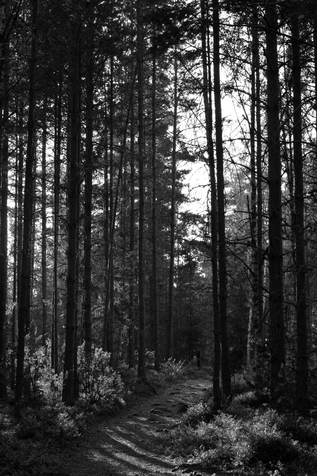 Svartvid bild på skog i Lugnets naturreservat